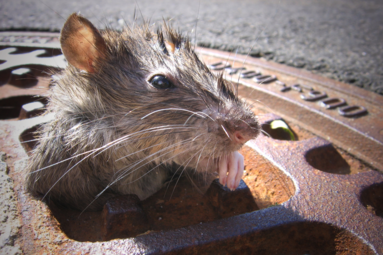 Rats in the sewer system