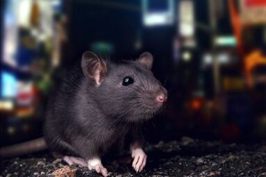 Rat infestation in cities - Poison-free alternatives for urban rat control.